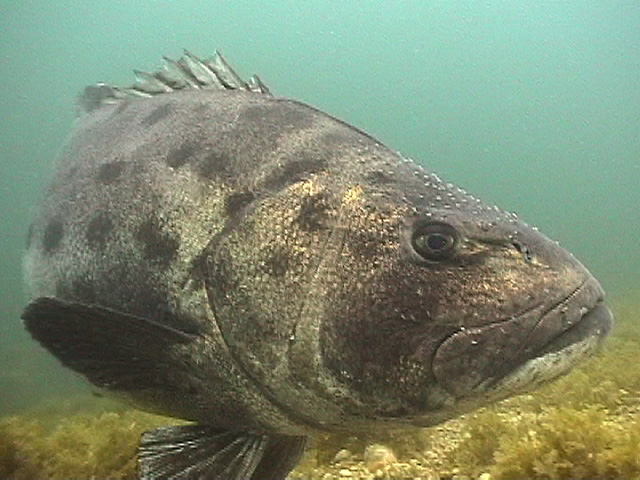Black Sea Bass2.jpg