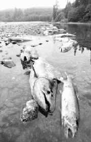 klamath_salmon_kill.jpg